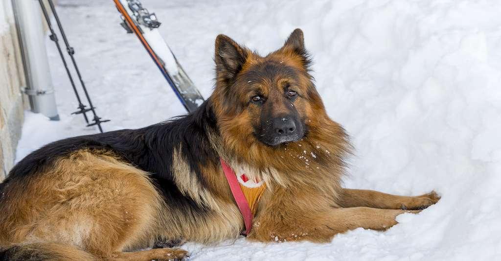 Chien utilisé pour détecter les survivants d'une avalanche. © Cylonphoto, Shutterstock