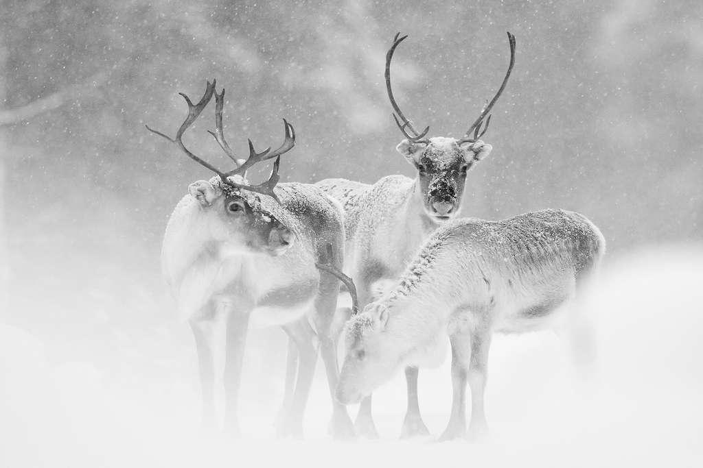 Les rennes, étonnants cervidés apprivoisés