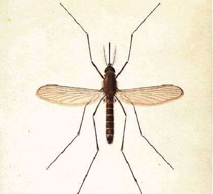 Moustique sp. Reproduction et utilisation interdites