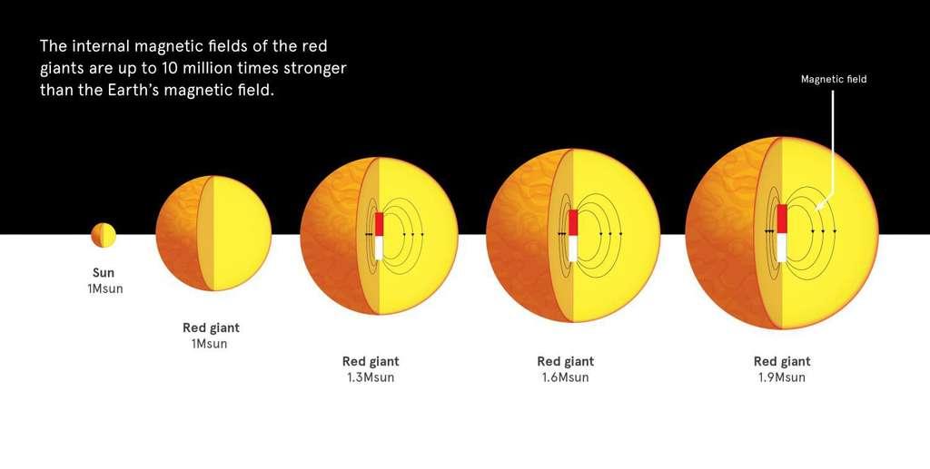 La taille des étoiles ne croît pas linéairement avec leur masse. Celle-ci est de toute façon modifiée quand elles deviennent par exemple des géantes rouges (red giant en anglais). Il semble maintenant que, contrairement au Soleil, des étoiles plus massives que lui, même légèrement (ici des géantes rouges), abritent un cœur baignant dans un puissant champ magnétique. © University of Sydney