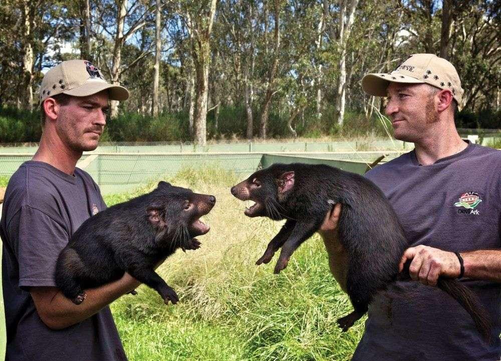 Deux jeunes diables de Tasmanie mâles. L'espèce, endémique à l'île du même nom, près de l'île principale de l'Australie, est en voie de disparition à cause d'une épidémie de cancer de la face qui ravage les populations de ces marsupiaux. © Devil Ark