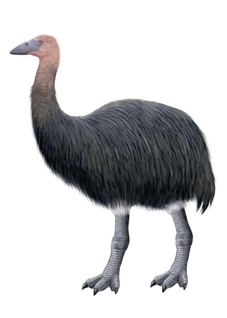 L'oiseau-éléphant (Aepyornis maximus) était une espèce indigène de Madagascar. © nicolasprimola, Adobe Stock