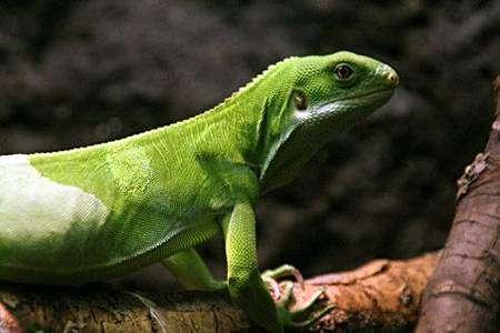 Brachylophus fasciatus, en danger d'extinction. Zoo de St-Luis (commons)