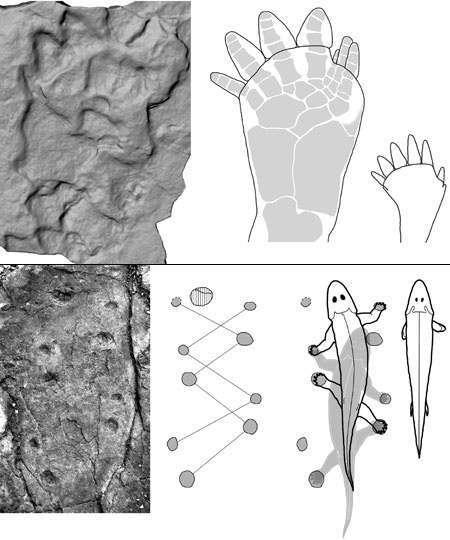 Remarquablement conservées dans la boue fossilisée, ces traces de pas sont celles d'un animal à quatre pattes qui savait marcher. © Pehr Ahlberg et al., Nature