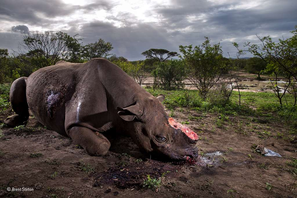 Un rhinocéros noir en Afrique du Sud tué pour ses cornes. Un massacre stupide. © Brent Stirton, 2017 Wildlife Photographer of the Year