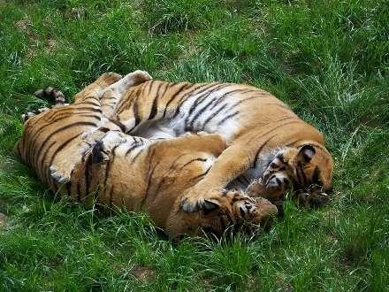 Deux tigres couchés dans l'herbe. © Neusitas, CC by-sa 2.0