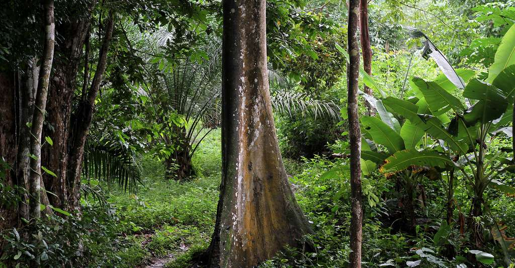 Forêt du Cameroun. © AGRIPO, CC BY-SA 4.0