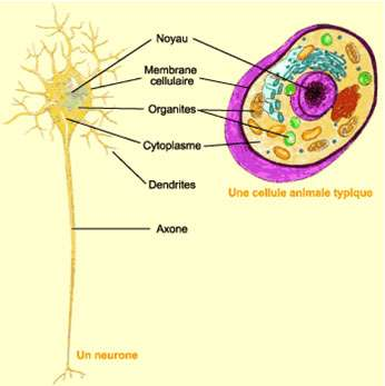 Organisation d'un neurone. Source : http://lecerveau.mcgill.ca/