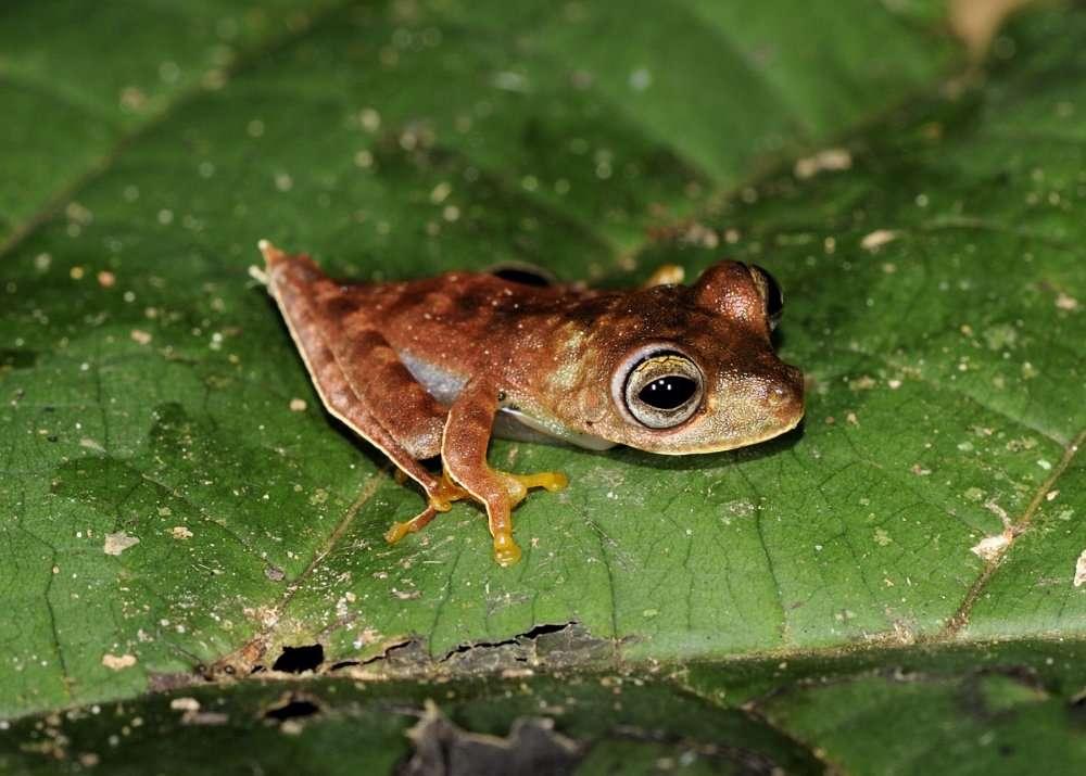 Hypsiboas sp., surnommée la « grenouille cowboy » à cause de petits ergots, entre le tibia et le pied, qui évoquent des éperons. © AFP Photo/Conservation International/Paul E. Ouboter/Handout