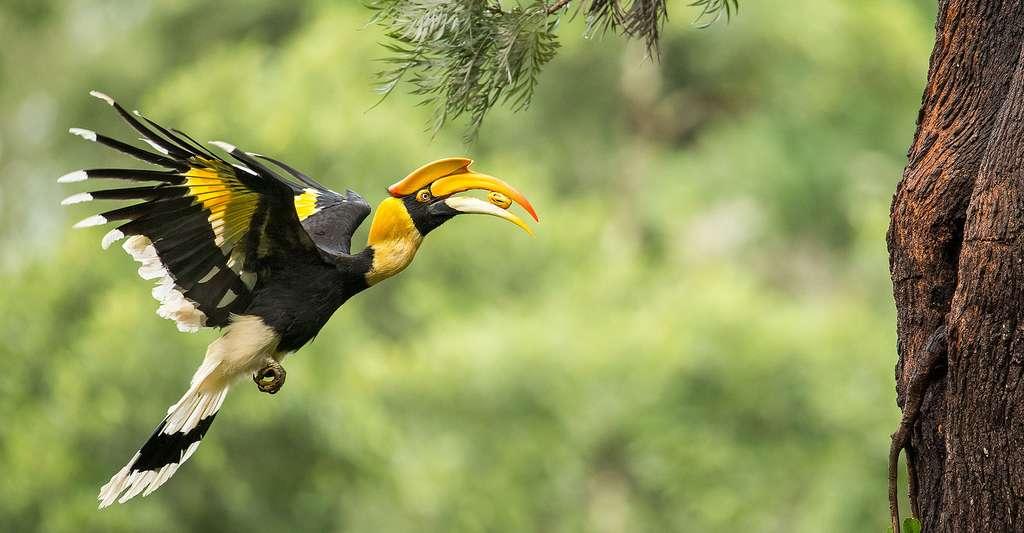 Toucans et calaos se ressemblent mais ils ne vivent pas dans les mêmes régions. Ici, une femelle calao bicorne (Great Hornbill) apportant à manger à ses petits. © Angadachappa, CC by-sa 4.0