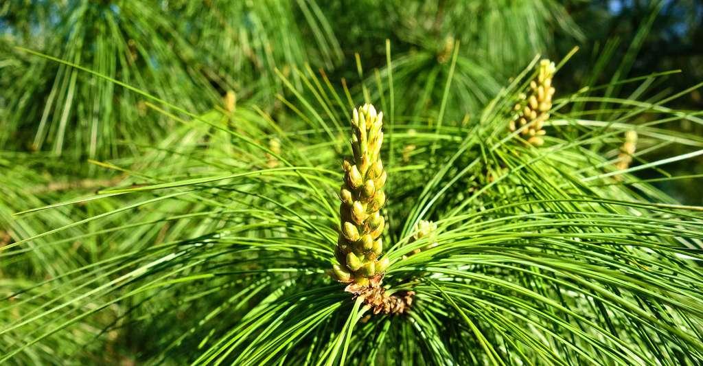 Le bacille de Thuringe est utilisé dans la lutte contre les chenilles défoliatrices des forêts. Ici, bourgeon de pin. © MabelAmber, Pixabay