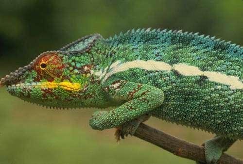Habile chasseur, le caméléon possède deux yeux globuleux aux mouvements indépendants. © Philippe Mespoulhé, reproduction et utilisation interdites