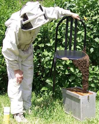 Essaim accroché à une chaise et remis en ruchette. © Christophe Pace, CC by-nc 2.0