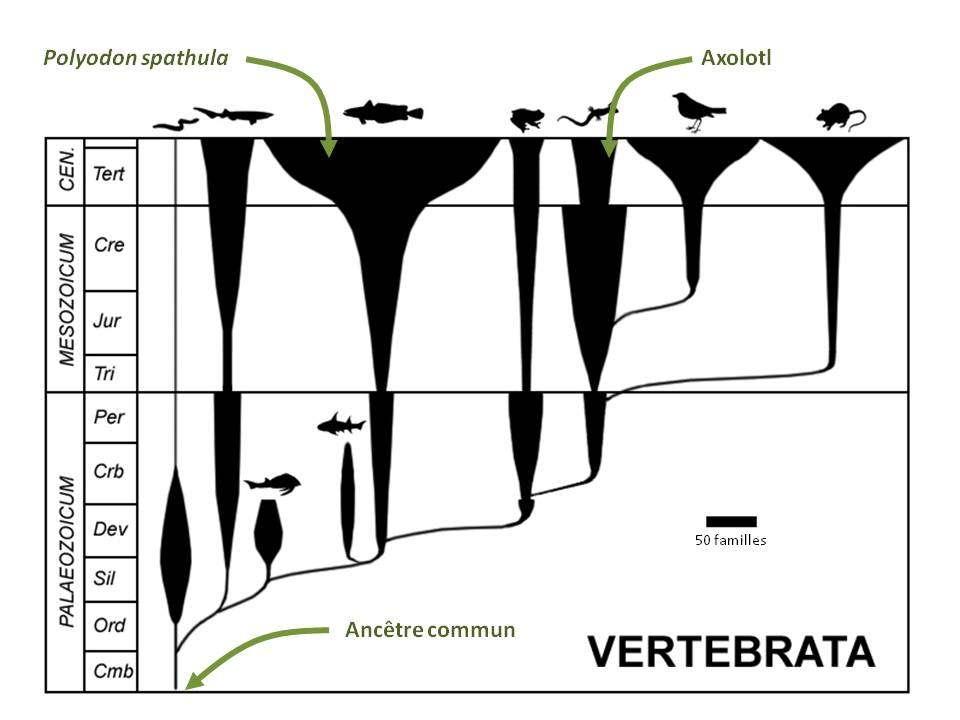 L'ancêtre commun des vertébrés vivait au Cambrien. L'axolotl et le polyodon sont tous les deux capables de sentir des champs électriques. © Peter Bøckman, domaine public - adaptation Futura-Sciences