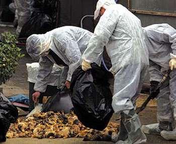 L'abattage massif des volailles est essentiel dans la lutte des épizooties. © 2006 Time Inc.
