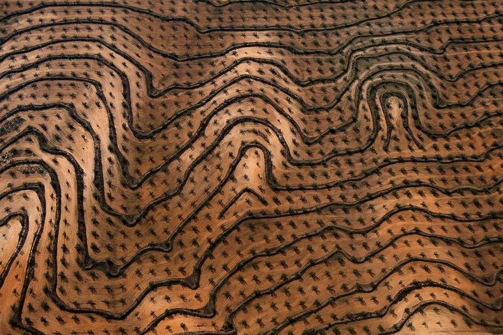 Nouvelles plantations d'oliviers, gouvernorat de Zaghouan, Tunisie (36°24'N - 10°23'E). Les talus édifiés pour retenir l'eau de ruissellement et limiter l'érosion soulignent le relief, à la manière des courbes de niveau sur une carte. Les plantations d'oliviers sont effectuées sur des terres labourables, souvent sur des franges de relief comme ici au pied du Djebel Zaghouan (1 295 m), au nord-est de la Tunisie. Originaire du pourtour méditerranéen qui concentre encore aujourd'hui 90 % des oliviers de la planète, cet arbre, symbole de paix, peut vivre plus de 1.000 ans, et donne annuellement 5 kg à 30 kg d'olives. © Photo Yann Arthus-Bertrand - Tous droits réservés
