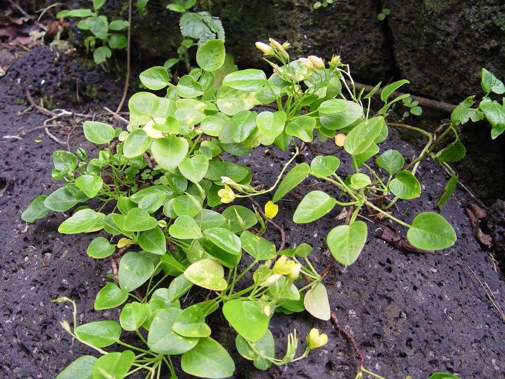 Oxalis simplicifolia, de la famille des Oxalidacées, collectée sur l'île de Ua Huka en 2011. Sur la photo, on peut voir les feuilles simples, des fleurs et des fuites. © Steve Perlman, National Tropical Botanical Garden