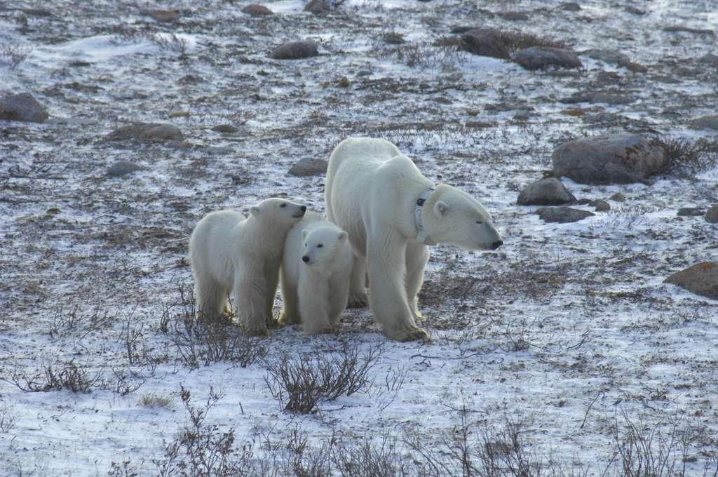 Une ourse polaire adulte porte un collier GPS. Elle attend avec ses deux oursons de dix mois que la glace de mer se reforme dans l'ouest de la baie d'Hudson, dans le Manitoba, au Canada. © Andrew Derocher, University of Alberta