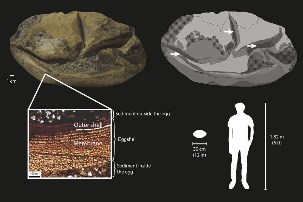 Les caractéristiques de l'œuf fossilisé ainsi que les membranes qui le composent. © Legendre et al. 2020
