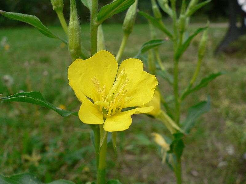 L'onagre bisannuelle Oenothera biennis est une plante herbacée. Elle fleurit en été et peut atteindre 0,8 à 1,2 m de haut. Elle est originaire des États-Unis mais elle s'observe maintenant dans le monde entier. Son huile est également utilisée en cosmétique. © Georg Slickers, Wikimedia common, CC by-sa 2.5
