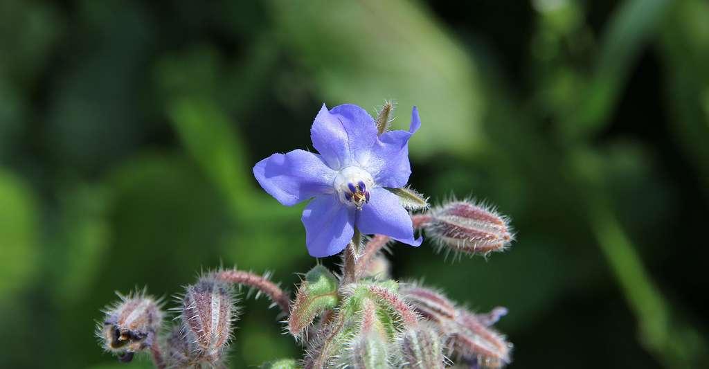 Borago officinalis. © Gianni Careddu, CC by-sa 4.0
