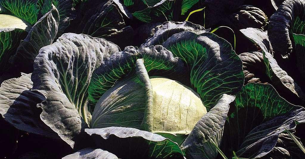 Le chou d'Alsace, utilisé pour la choucroute. © Michel Caron, DR
