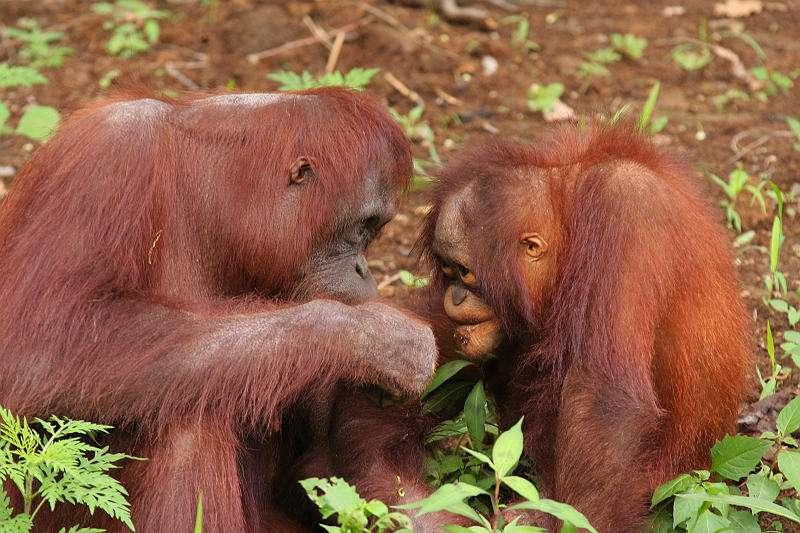 Femelle orang outan et un jeune. © su neko, CC by 2.0