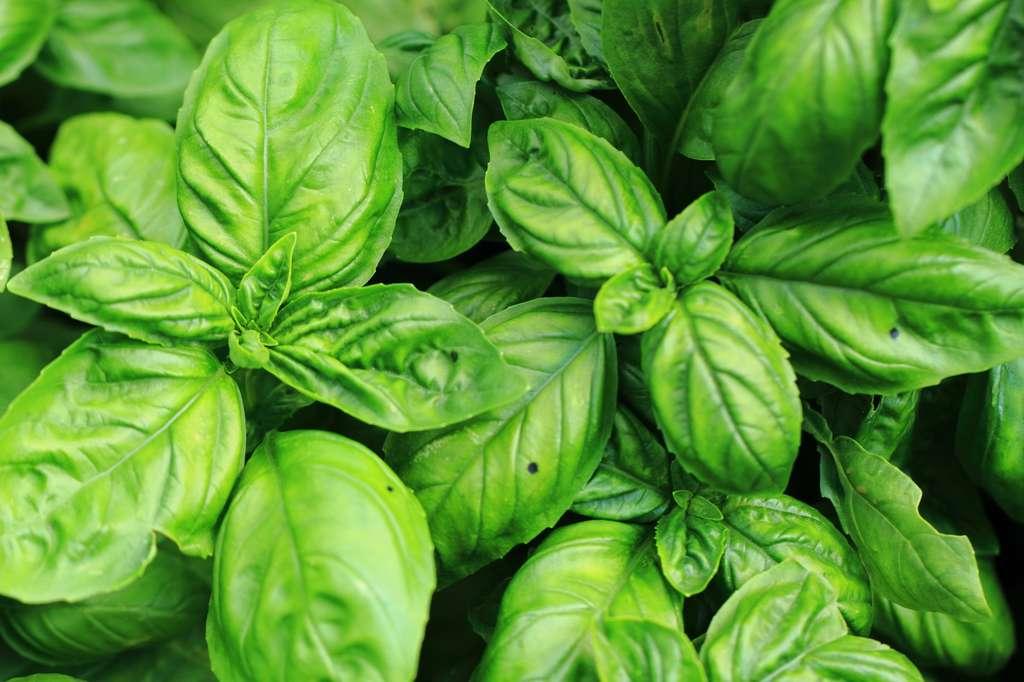 Le basilic est très facile à cultiver. C'est une plante aromatique annuelle qu'il faut donc semer chaque année. © jonnysek, Fotolia