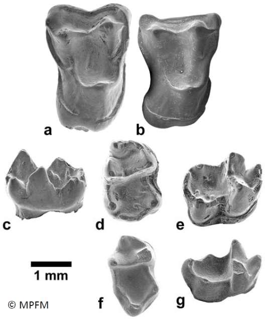 Les molaires d'Afrasia djijidae, le primate anthropoïde qui a probablement migré de l'Asie à l'Afrique durant l'Éocène moyen, ont été observées au microscope électronique à balayage. Les dents a et b proviennent d'une mâchoire supérieure (en vue occlusale, à savoir du haut). Les deux autres molaires trouvées au Myanmar appartiennent à la mâchoire inférieure. Les photographie c à e présentent la première d'entre elles respectivement en vue linguale, occlusale et buccale oblique. La dernière dent est montrée en vue occlusale (f) et buccale oblique (g). © MPFM