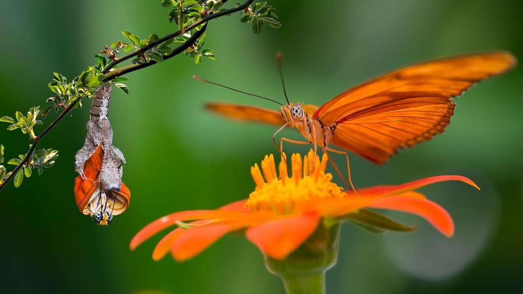 L'émergence d'un papillon flamboyant, le Dryas iulia