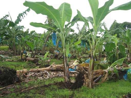 Dégats de Radopholus similis : chute de plants infectés après un coup de vent, commune d'Ajoupa Bouillon, Martinique. © IRD - Patrick Quenehervé