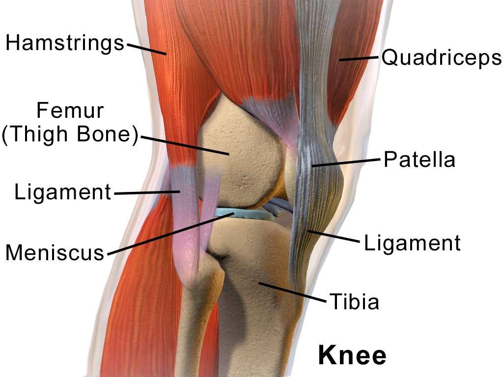 Dans l'articulation du genou (knee), le ménisque (meniscus) est un disque qui sépare la cavité synoviale en deux. © Blausen.com staff, Blausen gallery 2014, Wikiversity Journal of Medicine, CC by 3.0
