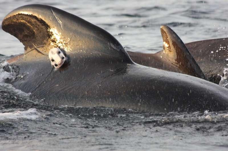 Un micro est attaché sur le corps d'une orque, à l'aide de ventouses. © Whale Project