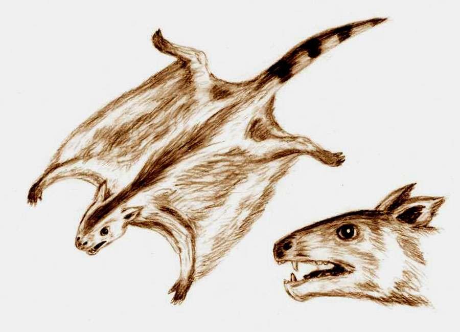 Les individus du genre Volaticotherium sont semblables aux écureuils volants actuels. La tête sur ce dessin est basée sur une image de crâne publiée par Meng dans Nature, en décembre 2006. © ArthurWeasley, CC by-sa 3.0