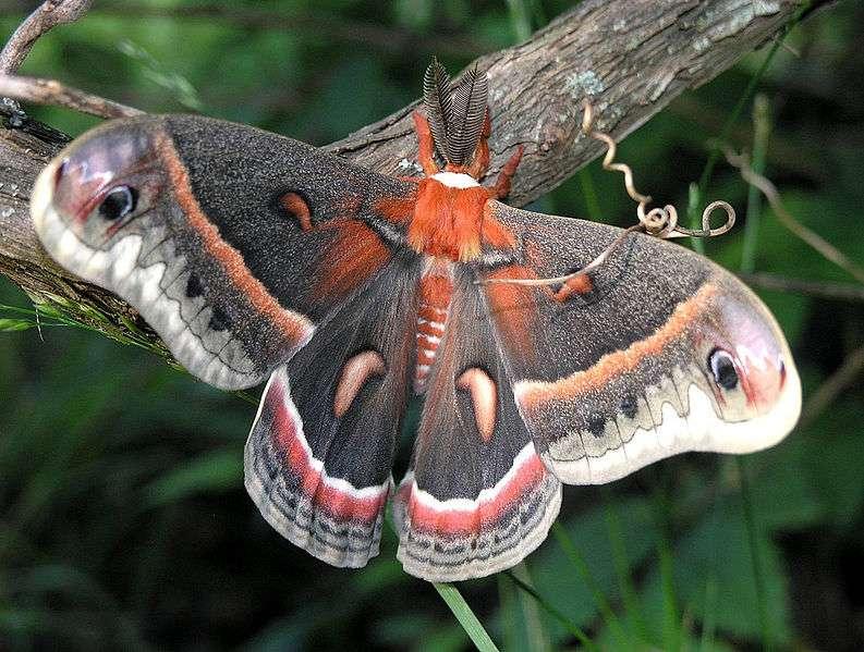 La saturnie cécropia est un papillon de nuit imposant, avec de grandes ailes noires et rouge orangé. © Marvin Smith, Wikipédia, cc by sa 2.0