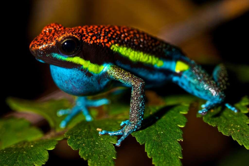 Ameerega macero, des couleurs vives et une peau granuleuse