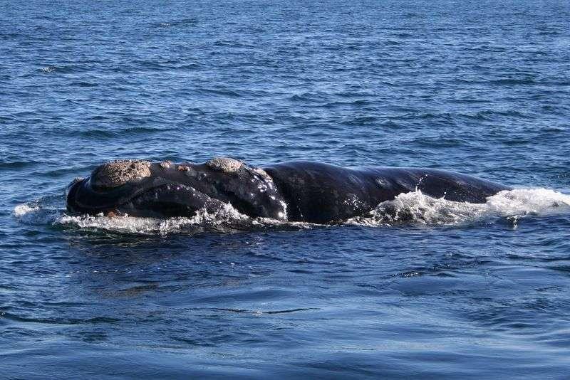 Baleine franche australe. © eoearth.org