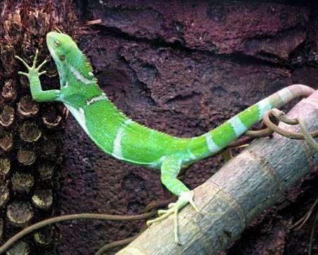 Brachylophus vitiensis, considéré comme en danger critique d'extinction. Source : Zoo de Perth (commons)