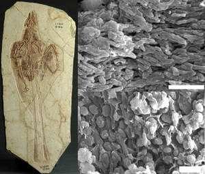 A gauche, le fossile de Confuciusornis dans lequel ont été retrouvés des mélanosomes, repérés au microscope électronique à balayage et montrés dans les deux images à droite. En haut, des eumélanosomes, reconnaissables à leur forme allongée, et dont on pense qu'ils contenaient, comme chez les animaux actuels, des pigments noirs. En bas des pheomélanosomes sphériques abritant probablement des pigments de couleur brune ou orangée. © Institute of Vertebrate Paleontology and Paleoanthropology, Beijing (fossile de Confuciusornis), University of Bristol (mélanosome)