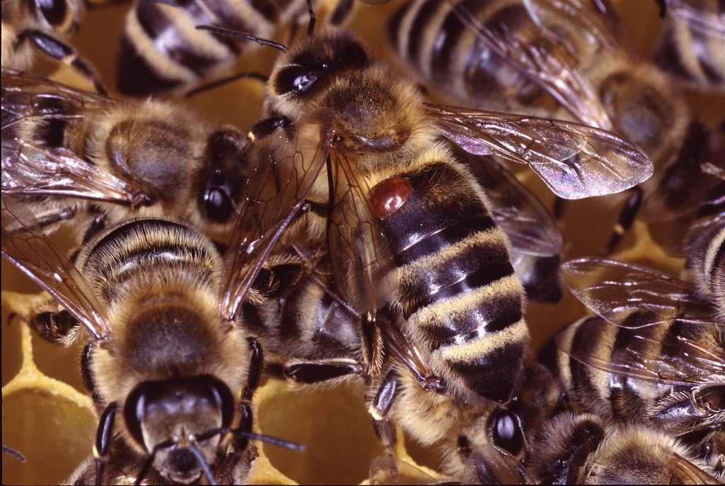 La petite tache est en réalité Varroa destructor, un acarien parasite de l'abeille. En la piquant, celui-ci se nourrit de son hémolymphe et l'affaiblit, et peut lui transmettre virus et autres agents infectieux. Notamment le virus mortel de la paralysie chronique, ou « maladie noire ». © Klaus Nowottnick, Adobe Stock