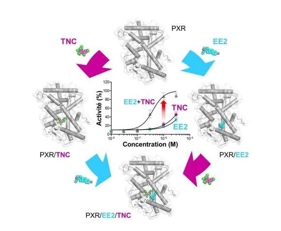 Séparément, l'éthinylestradiol (EE2) et le trans-nonachlor (TNC) se lient seulement à forte concentration au récepteur des xénobiotiques (PXR) et sont des activateurs faibles de ce récepteur. Lorsqu'ils sont utilisés ensemble, les deux composés se stabilisent mutuellement dans la poche de liaison du récepteur. Le « ligand supramoléculaire » ainsi créé possède une affinité augmentée pour PXR, de sorte qu'il est capable d'induire un effet toxique à des doses auxquelles chaque composé est inactif individuellement. © Vanessa Delfosse, William Bourguet