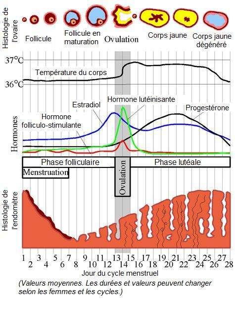 Ce schéma montre l'évolution des taux d'hormones chez la femme au cours de son cycle menstruel, ainsi que l'évolution de l'ovule et de l'endomètre. LH (hormone lutéinisante), progestérone, estradiol et FSH (hormone folliculo-stimulante) varient beaucoup sur les 28 jours. © Chris73, Wikipédia, cc by sa 3.0