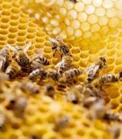 Mortalité des abeilles : qu'est-ce que l'approche multifactorielle ? © apiterra.fr