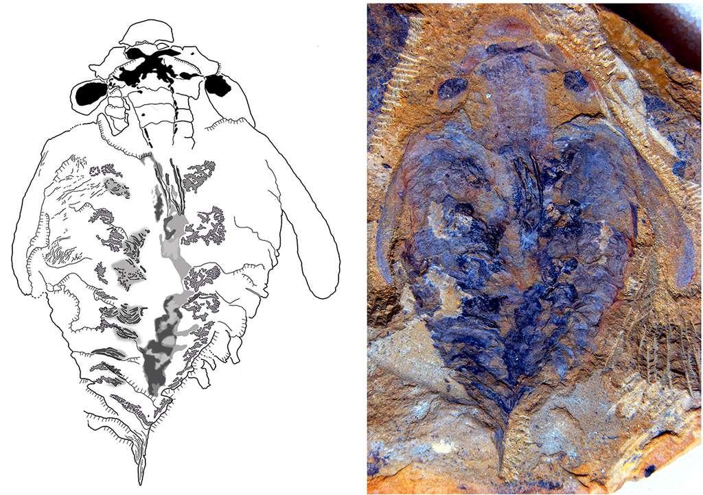 Le fossile remarquablement conservé de _Lyrarapax unguispinus_ retrouvé en Chine. Les couleurs, à droite, viennent d'un traitement informatique de l'image. À gauche, le dessin montre, en noir, la masse cérébrale en forme de X. Les deux petites formes en amandes à l'avant sont les ganglions situés à la base des appendices, absents sur le fossile. Les deux masses noires latérales sont les ganglions optiques. © University of Arizona