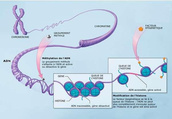 Les mécanismes de l'épigénétique : des méthylations ou des facteurs épigénétiques s'attachent aux histones ou à l'ADN et ont une influence sur l'expression des gènes. © NIH, domaine public - adaptation Futura-Sciences