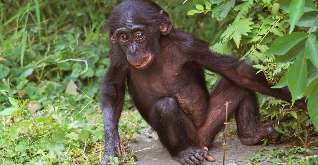 Au sanctuaire de Lola Ya Bonobo, un bébé bonobo. © Emmapatsie CC by-nc 2.0