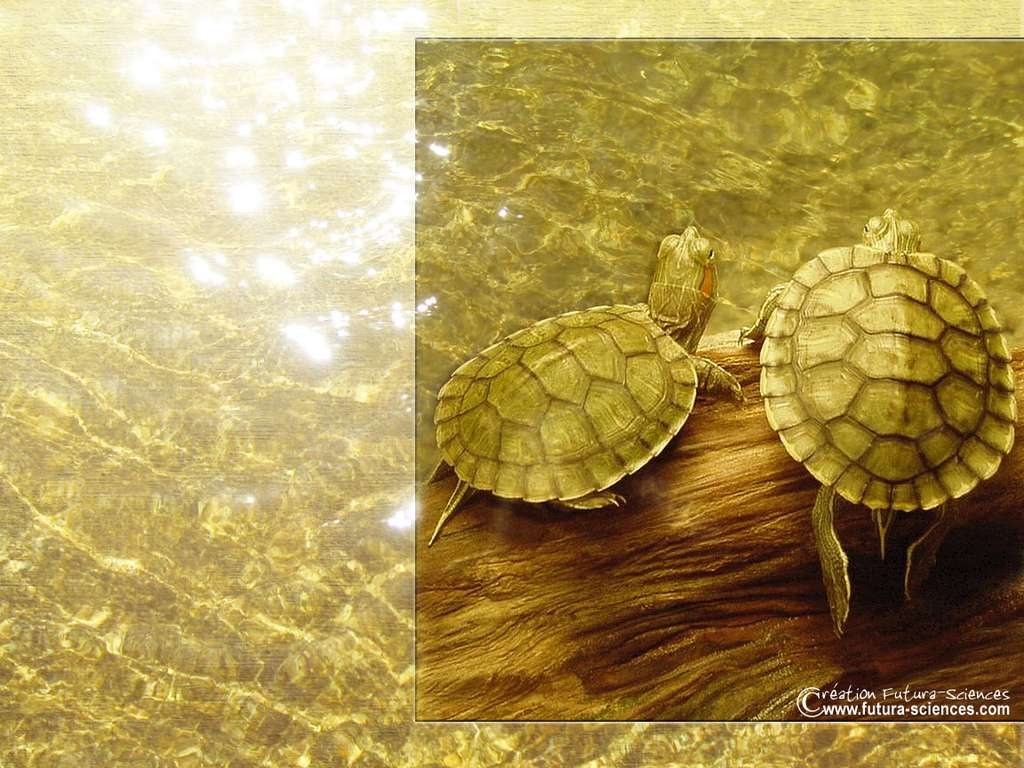 Tortue de californie