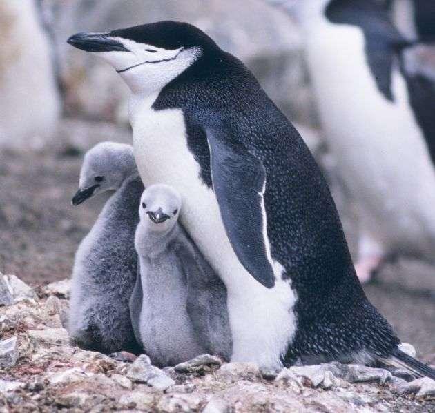 Femelle et ses poussins. © NOAA, domaine public