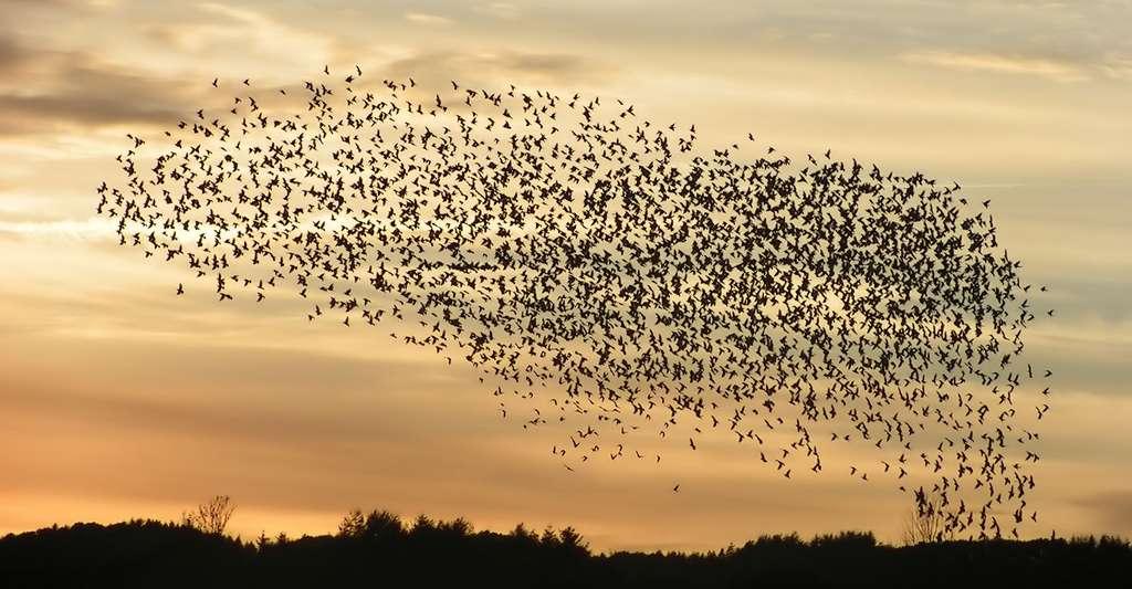 Formation d'un essaim d'oiseaux. © Rasmussen29892 CCO