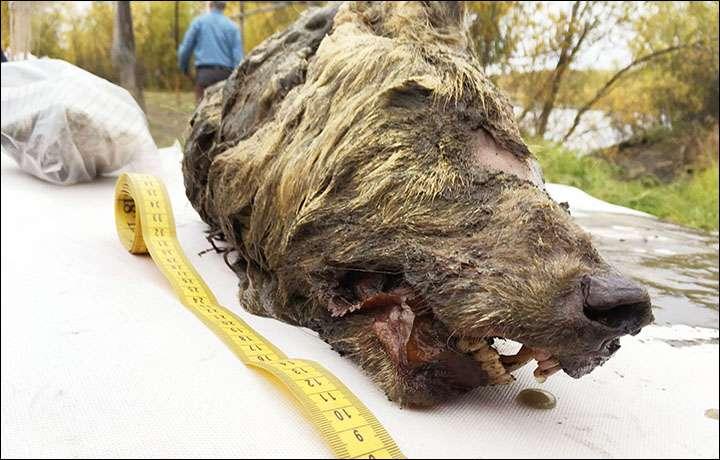 Tête coupée d'un loup du Pléistocène retrouvée sur les rives de la Tirekhtyakh River, dans la République de Sakha, dans le nord-est de la Sibérie. © Albert Protopopov